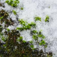 Mousse hivernale