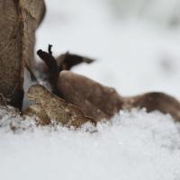 La neige et le brun des feuilles mortes