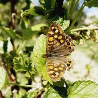 Les papillons du potager